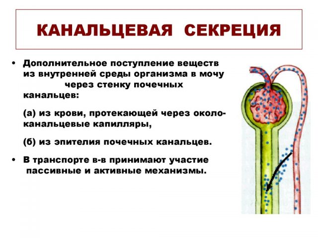 Канальцевая секреция (перенос веществ из крови через клетки канальцев в мочу)