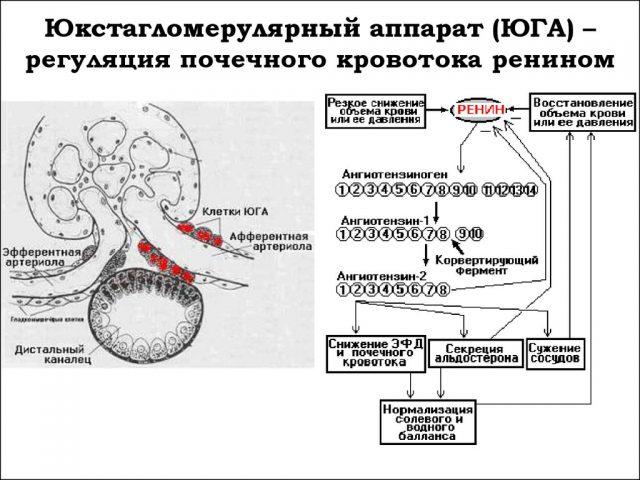 Регуляция уровня АД ЮГА почек (схема)