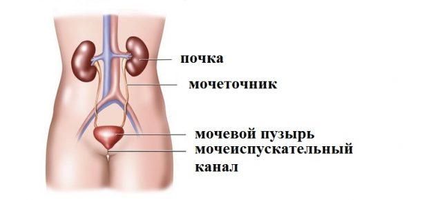 Строение мочевыделительной системы (схема)
