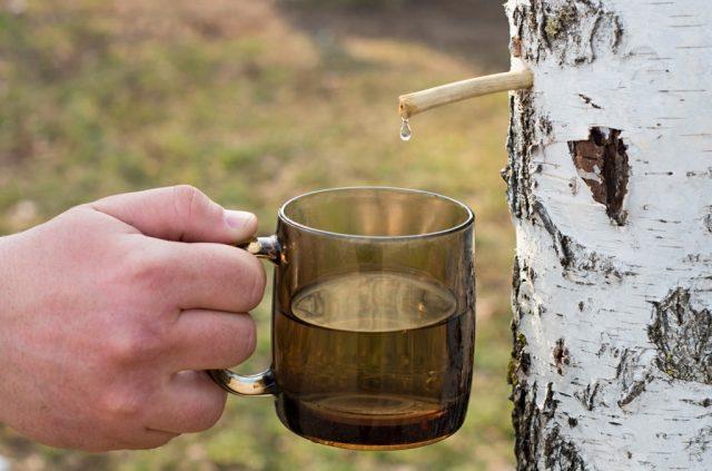 С берёзы капает сок в чашку