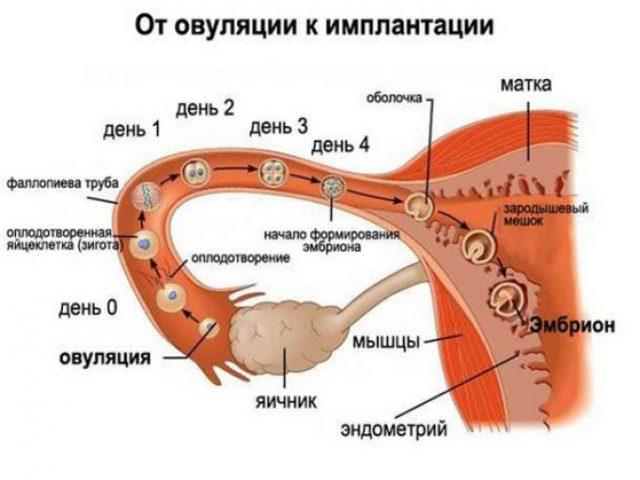 Движение яйцеклетки от яичника к матке