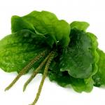 Пучок листьев и семян подорожника