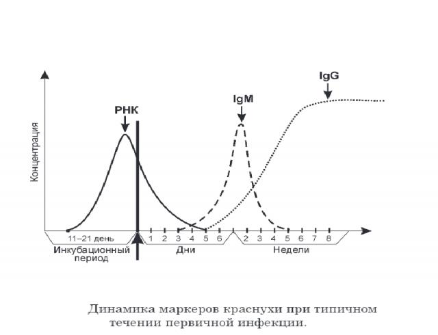 Динамика выработки антител при инфицировании краснушным вирусом