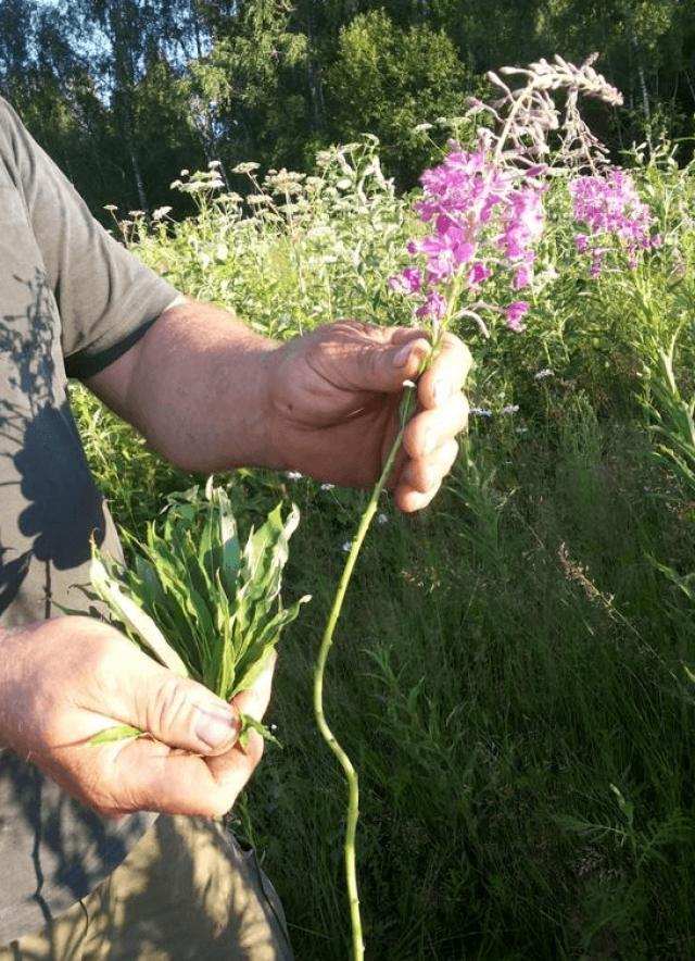 Рука человека держит растение иван-чая