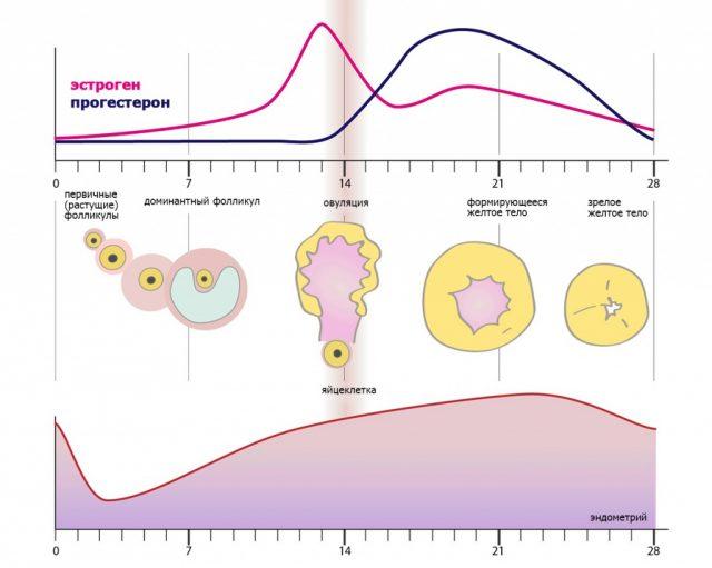 Фазы менструального цикла: уровни эстрогена и прогестерона, толщина эндометрия в графиках