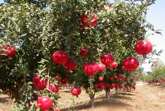 Сад гранатовых деревьев