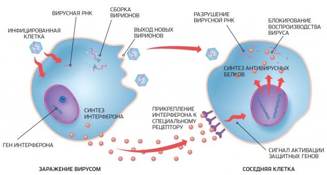 Схематическое пояснение действий интерферона при проникновении вируса в клетку