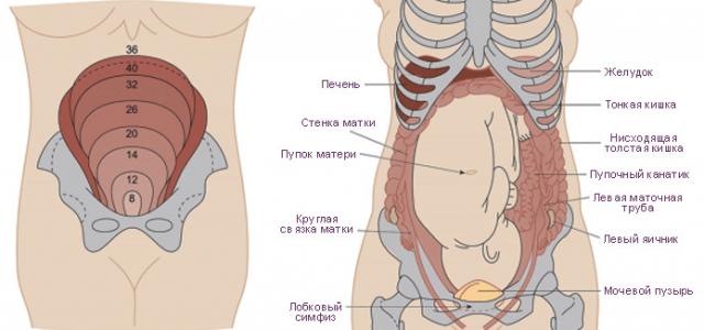 Расположение матки и внутренних органов во время беременности