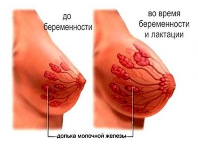 Грудь женщины до и во время беременности