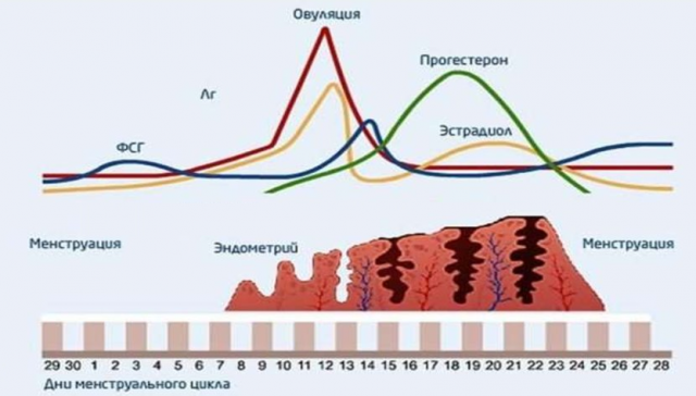 Уровни гормонов и толщина эндометрия в зависимости от дня менструального цикла
