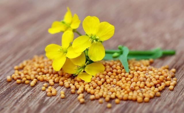 Веточка горчицы и семена растения