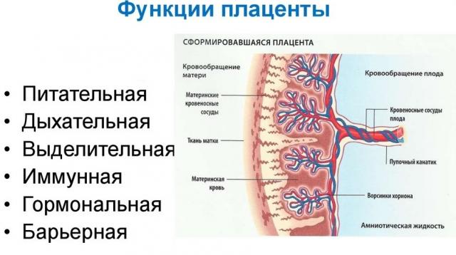 Рисунок плаценты в разрезе с указанием её функций